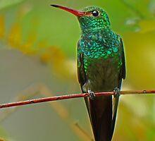 Canivet's Emerald Hummingbird by Linda Sparks