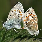 Mating Chalkhill Blue butterflies by fotozo