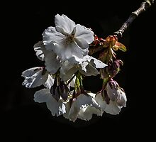 Blossom on a Black Background by Pixie Copley LRPS