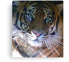 Sumatran Tiger Whiskers Canvas Print