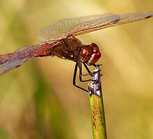 Variegated Meadowhawk Dragonfly by Ray Chiarello