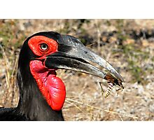 Southern Ground Hornbill Photographic Print