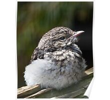 Young Hooded Robin Poster