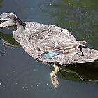 A Ducks Reflection..... by cathywillett