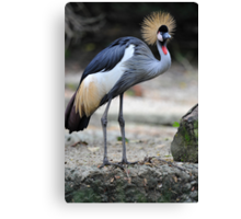 African Grey Crowned Crane - Singapore.  Canvas Print