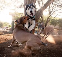 Dogs with game face on .35 by Alex Preiss