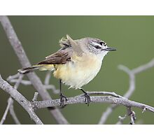 Yellow-rumped Thornbill (Acanthiza chrysorrhoa) Photographic Print