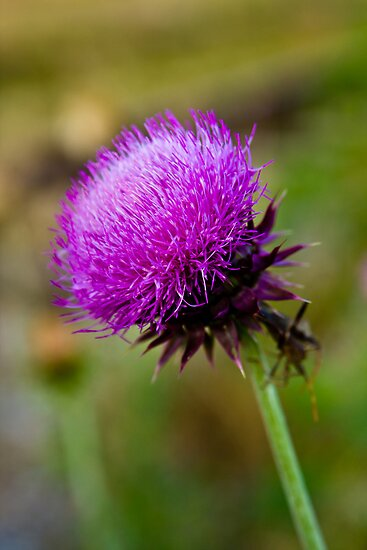 Thistle by Ken  Hurst