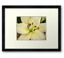 White Birthday Lilly Framed Print