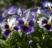 Purple  Pansies by Joy Watson