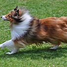 The Endurance Of A Sheltie by JaninesWorld