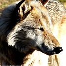 Upclose and Personal Wolf by devinadewi