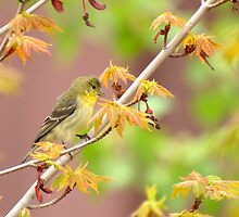American Goldfinch In Springtime Maple by K D Graves Photography