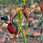 Flying Duck Orchid by Kip Nunn
