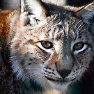 Lynx by Vasil Popov