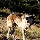 Howling Wolf by devinadewi