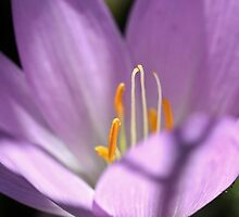 Spotlight on Colchicum by Astrid Ewing Photography