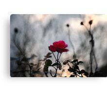 A wild rose Canvas Print