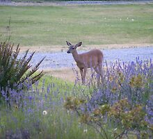 Whidbey Island deer by Susan Glaser
