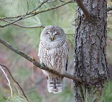 Barred Owl by Alivia49