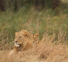 Lion Pair at rest by Alivia49