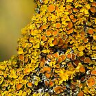 Lichen (could be Xanthoria polycarpa by FoxfireGallery / FloorOne Photography