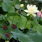 Water Lilies by tdash