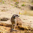 Meerkat  by Vac1