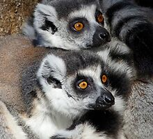 Curious Ring-tailed Lemur Friends by Margaret Saheed