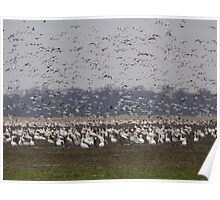 Geese Gaggle Poster