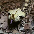 Gaboon Viper Snake by artddicted