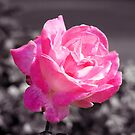 Single Pink Rose by Lynn Bolt