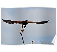 Wingspan- Harris Hawk Poster