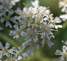 Pignut flowers by DEB VINCENT