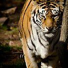 Tiger by vasu