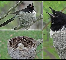 Willy Wagtail and kids by Donna Keevers Driver
