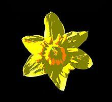 Daffodil on Black by Judi FitzPatrick