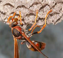Paper Wasp building a nest by Keith Smith