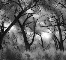Black and White Cottonwood Trees by Denice Breaux
