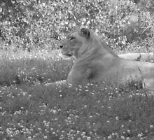 lioness in the grass by Dea Liang