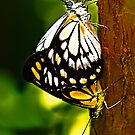 Chequered Swallowtail by AmeliaC