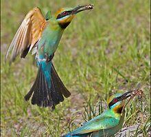 Rainbow Bee-Eater 455 by John Van-Den-Broeke