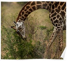 Kruger - Giraffe Poster