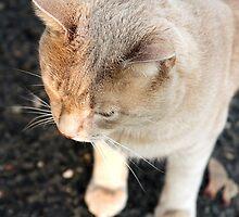 Pretty Kitty 3  by Cecelia Prairie
