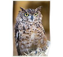 Spotted Eagle-owl (Bubo africanus) Poster