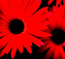 Red Daisies by Melissa Blowers