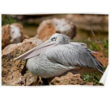 Pink-backed Pelican Poster