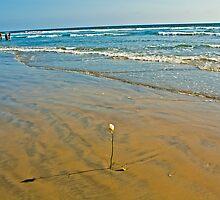 Huntington beach rose by Gabriel Scott