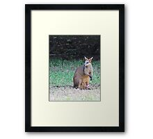 Swamp Wallaby Framed Print