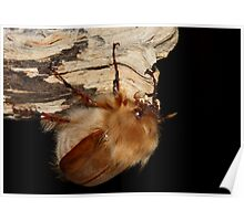 Woolly Chafer Poster